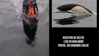 Raro registro de Delfin Liso en Hualaihué