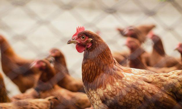 62% de los chilenos les preocupa las condiciones de vida de las gallinas que ponen los huevos que se venden